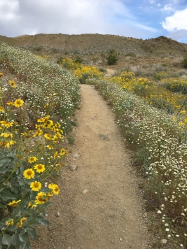 Desert wildflowers!
